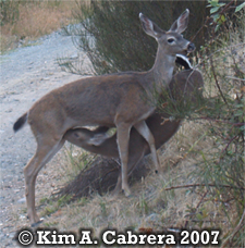 Older fawn trying to nurse. Copyright Kim A. Cabrera 2007.