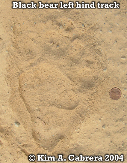 Black bear left hind footprint. Photo copyright by Kim A. Cabrera 2004.