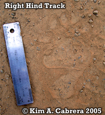 Black bear right hind footprint. Photo copyright by Kim A. Cabrera 2004.