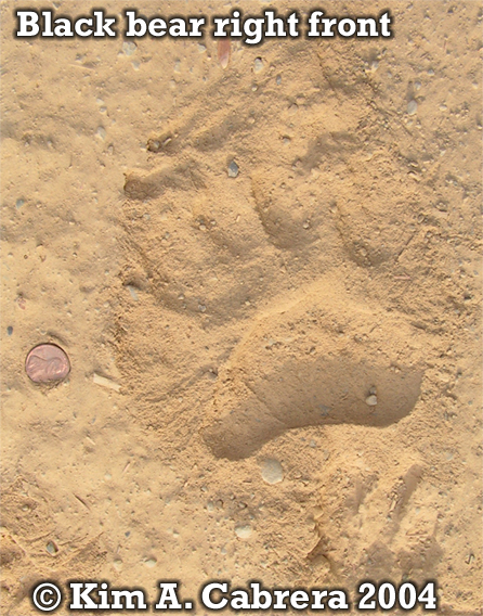 Black bear right front foot print. Photo copyright by Kim A. Cabrera 2004.