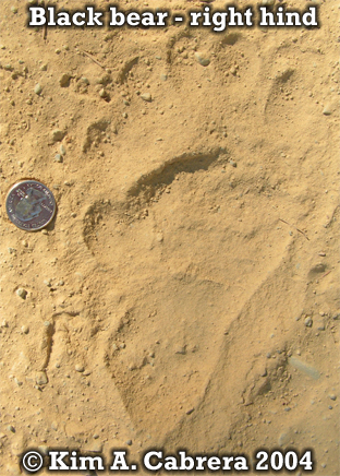 Black bear right hind foot print. Photo copyright by Kim A. Cabrera 2004.