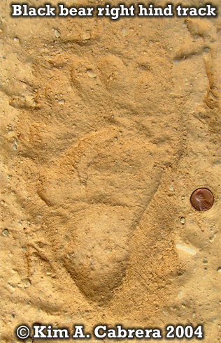 Black bear right hind track foot print. Photo copyright by Kim A. Cabrera 2004.