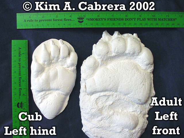 Black bear track pair cast in plaster of Paris. Photo copyright by Kim A. Cabrera 2002.