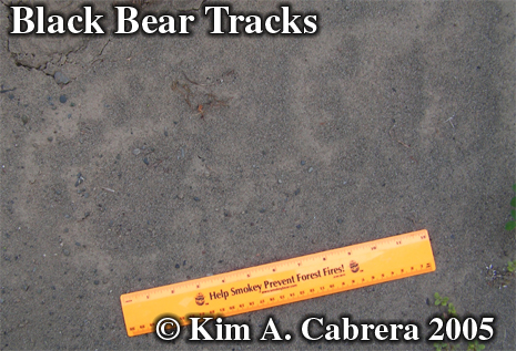 Black bear tracks. Photo copyright by Kim A. Cabrera 2005.