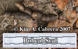 Bobcat scat. Photo copyright by Kim A. Cabrera.