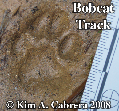 Animal Tracks  Wild Turkey