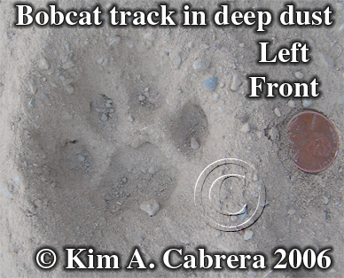 Bobcat track. Photo copyright by Kim A. Cabrera.
