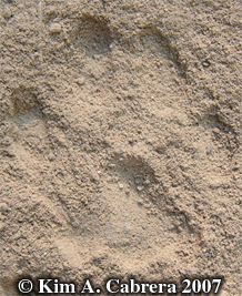 Bobcat track in dust. Photo copyright by Kim A. Cabrera 2007.