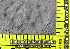 Bobcat tracks in dust. Photo copyright by Kim A. Cabrera 2007.