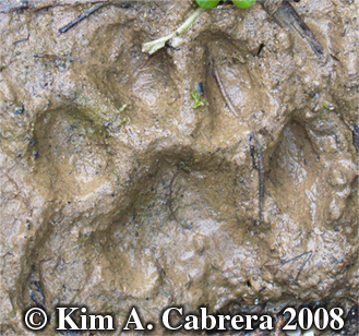 Bobcat track in mud. Photo copyright 2008 by Kim A. Cabrera.