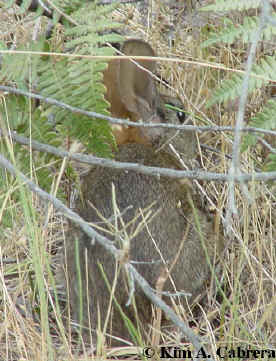 Brush rabbit hiding in brush. Photo by Kim A. Cabrera