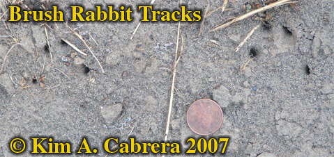 Brush rabbit tracks indicated by claw marks only. Photo � Kim A. Cabrera 2007