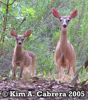 Doe and fawn.  Copyright by Kim A. Cabrera 2005.