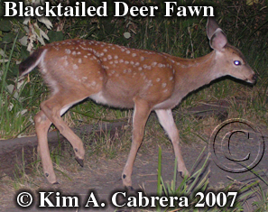 Blacktailed deer fawn. Photo � Kim A. Cabrera 2007
