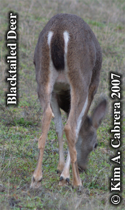 Why they are called blacktailed deer. Photo � Kim A. Cabrera 2007