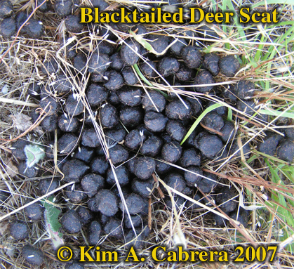 Blacktailed deer scat. Photo � Kim A. Cabrera 2007