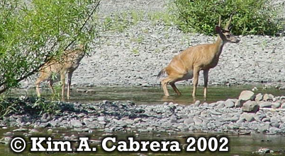 Two deer urinating in the Eel River to hide scent. Copyright by Kim A. Cabrera 2002.