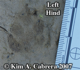 Blacktailed jackrabbit left hind track. Photo copyright by Kim A. Cabrera.