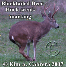 Rub urinate posture of a rutting buck.  Photo copyright by Kim A. Cabrera 2007.