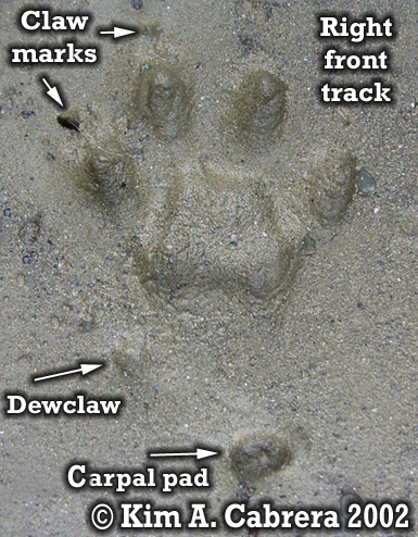 Domestic cat track showing all details. Copyright by Kim A. Cabrera 2002.