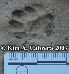 Cat track. Photo copyright by Kim A. Cabrera 2007.