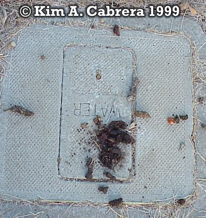 Raccoon and gray fox latrine. Photo copyright by Kim A. Cabrera 1999.