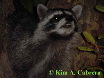 Raccoon sniffs the air. Photo by Kim A. Cabrera 2002.