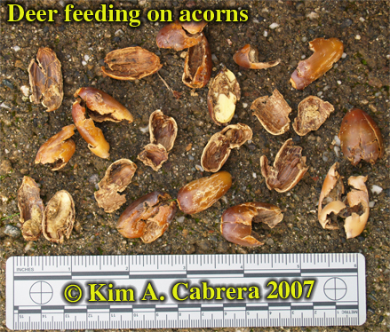Deer feeding signs on acorns. Photo by Kim A. Cabrera 2007.