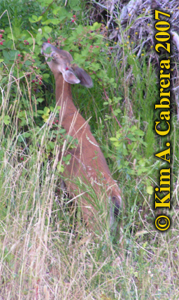 Blacktailed deer standing on hind legs to reach the tasty plant parts. Photo � Kim A. Cabrera 2007