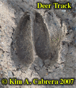 Deer track in mud. Photo � Kim A. Cabrera 2007