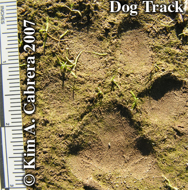 Dog track in firm mud. Photo copyright by Kim A. Cabrera 2007.