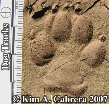 Domestic dog track in sun. Photo copyright by Kim A. Cabrera 2007.