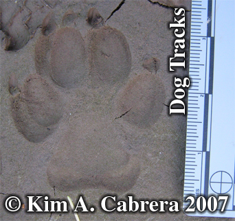 Domestic dog track in shade. Photo copyright by Kim A. Cabrera 2007.