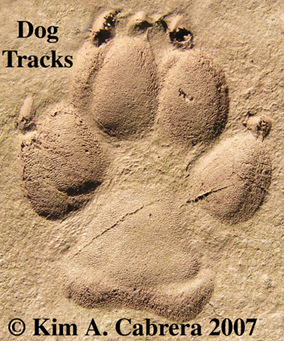 Dog tracks photo by Kim Cabrera. 2007. This photo shows a doubled dog track, hind on top of front foot.