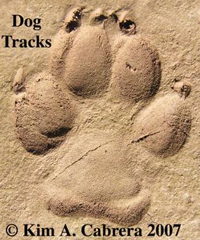 Animal Tracks Domestic Dog