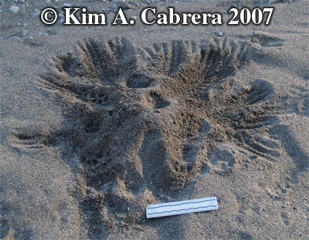 Scat burial by domestic cat. Photo copyright by Kim A. Cabrera 2007.