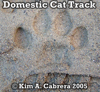 Domestic cat track in sand. Copyright Kim A. Cabrera 2005.