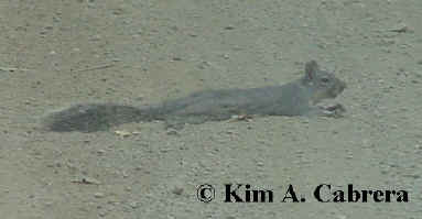 Gray squirrel on hot day. Photo by Kim A. Cabrera 2002.