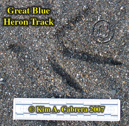 Great blue heron track. Photo by Kim A. Cabrera 2007.