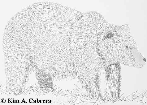 Grizzly bear drawing by Kim A. Cabrera