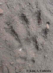 Right front gray squirrel track. Photo by Kim A. Cabrera 2002.