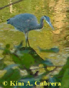 GReat blue heron hunting. Photo by Kim A. Cabrera 2002.