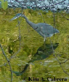 Great blue heron in water. Photo by Kim A. Cabrera 2002.