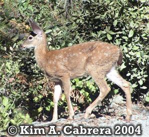 Blacktailed deer fawn. Photo copyright by Kim A. Cabrera 2005.