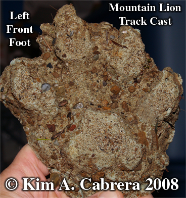 Mountain lion track casting. Also called puma, cougar, and panther. Photo copyright by Kim A. Cabrera 2008.