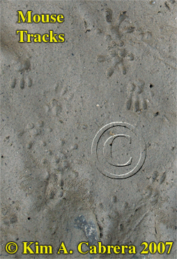 Mouse tracks along the Eel River. Photo by Kim A. Cabrera 2007.