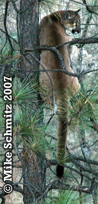 Mountain lion in tree. Photo copyright by Mike Schmitz 2007.