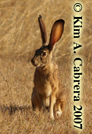 Photo of Notch, the jackrabbit, by Kim A. Cabrera. Copyright 2007. Do not use without permission.