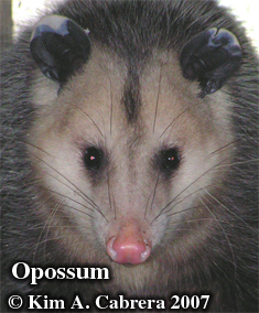 Opossum behind the stove. Photo copyright by                       Kim A. Cabrera 2007.