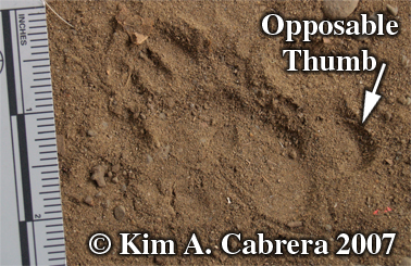 Opossum track. Photo copyright by Kim A. Cabrera.